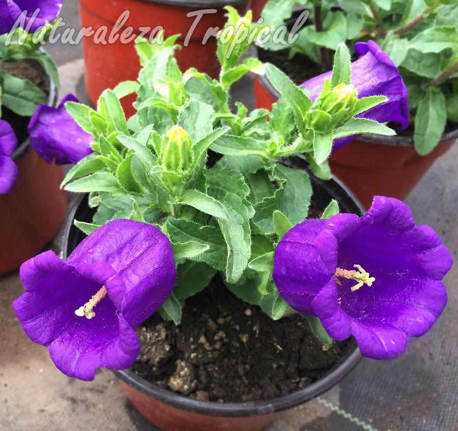 Flores de una variedad comercial del género Campanula