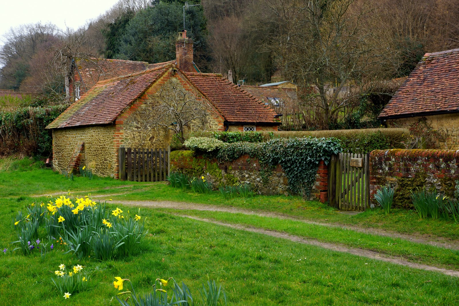 Rural English daffodils in spring