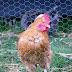 Fox enters chicken coop, loses badly