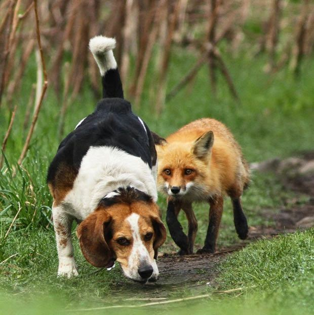 Funny Fox Hunting Dog Fail Joke Picture