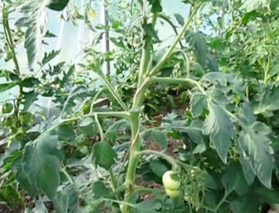 tomat hidroponik dari tunas