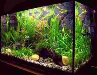 aquarium yang tidak kotor