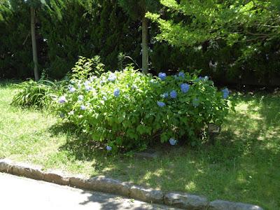 枚方市・市民の森(鏡伝池緑地)のあじさい