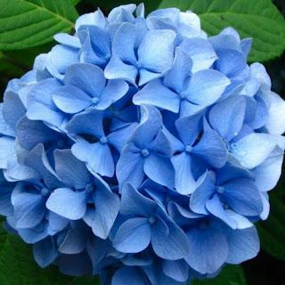 bunga hortensia biru lamongan toko bunga