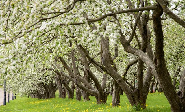 Цветущие яблони фото