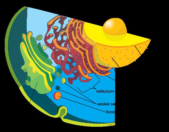 Retikulum Endoplasma (Kasar dan Halus)