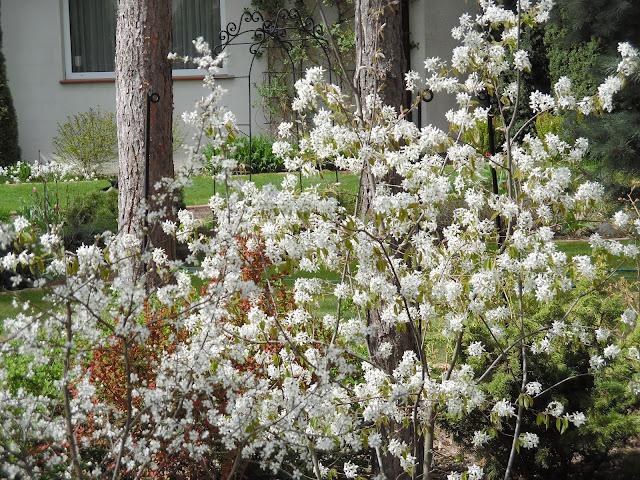 kwitnąca świdośliwa, wiosna w ogrodzie