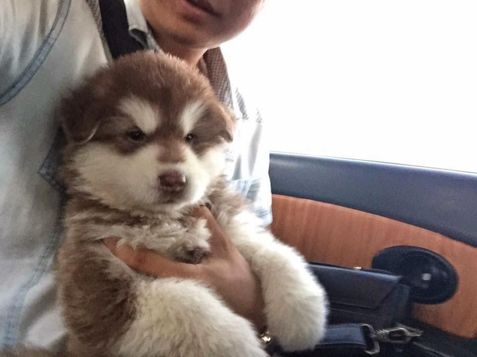PôPô Chức và chú alaska con từ Sơn Tây