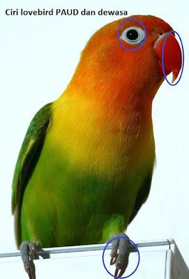 ciri lovebird paud dan dewasa