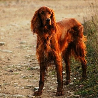 Irish dog names for the irish setter
