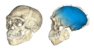 A composite computer reconstruction of fossils from Jebel Irhoud shows a modern, flattened face paired with an archaic, elongated braincase © PHILIPP GUNZ, MPI EVA LEIPZIG.