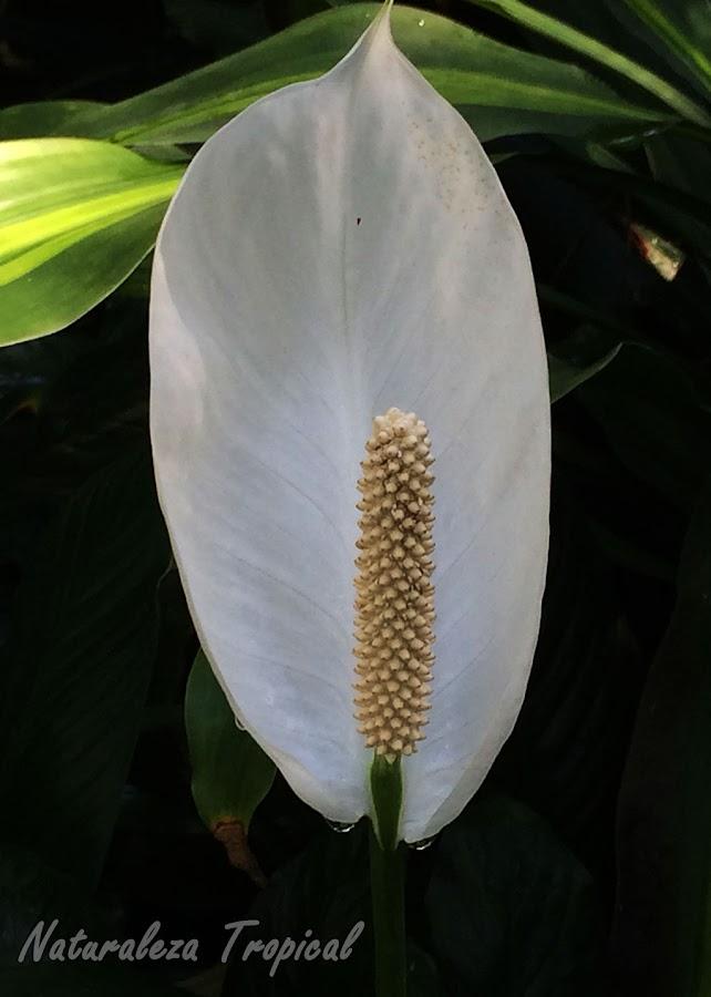 Las banderas blancas o Espatifilos no pueden faltar en tu hogar, género Spathyphyllum