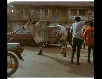 Youths Parade Customized Cow to Celebrate Buhari's Return (Photos)