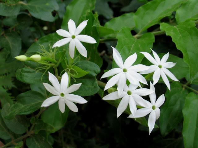 Cây chè vằng lá xanh có hoa trắng và gân rất rõ nét