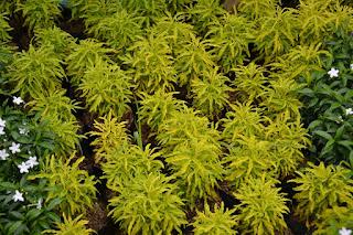 jual tanaman hias berokoli kuning