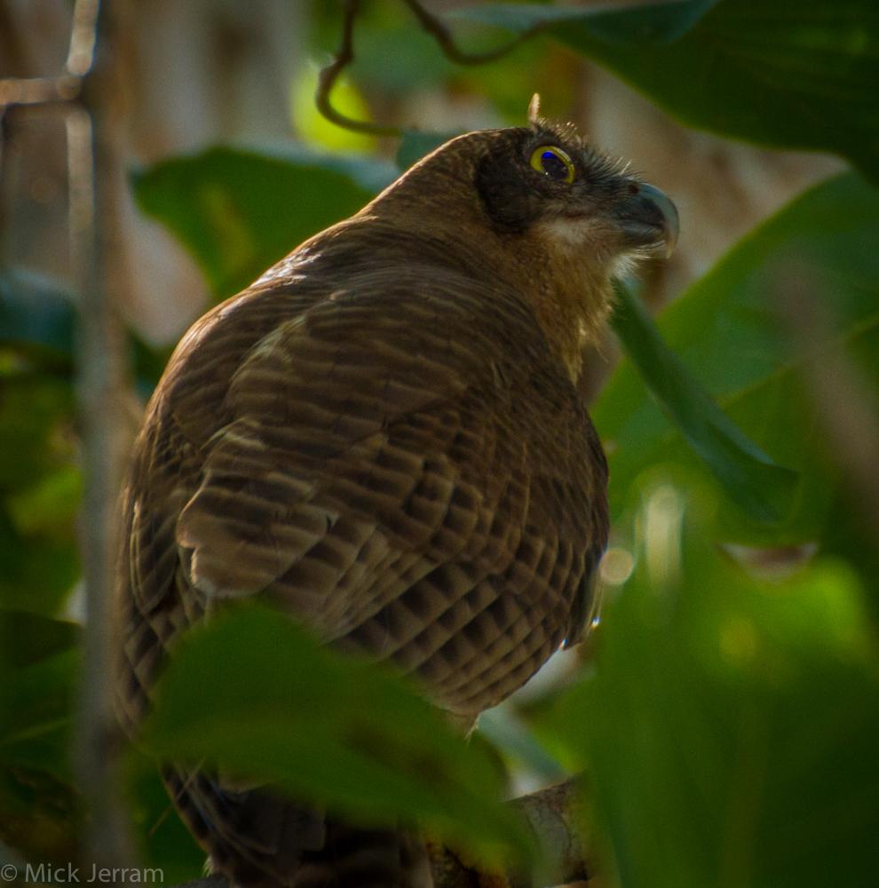 Rufous owl - photo#39