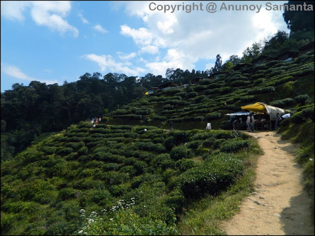A failed Trip to Darjeeling - in pursuit of Darjeeling Tea