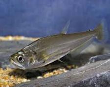 ikan vampir payara scoberoides
