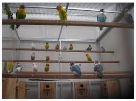 Budidaya Lovebirds Koloni Hasil Jutaan Rupiah