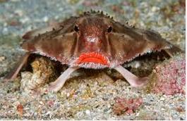 Ikan Hias Air Laut Batfish