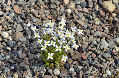 white flowers bluets rock garden