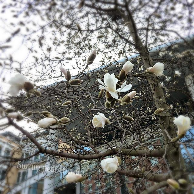 Magnolia blanc - Paris