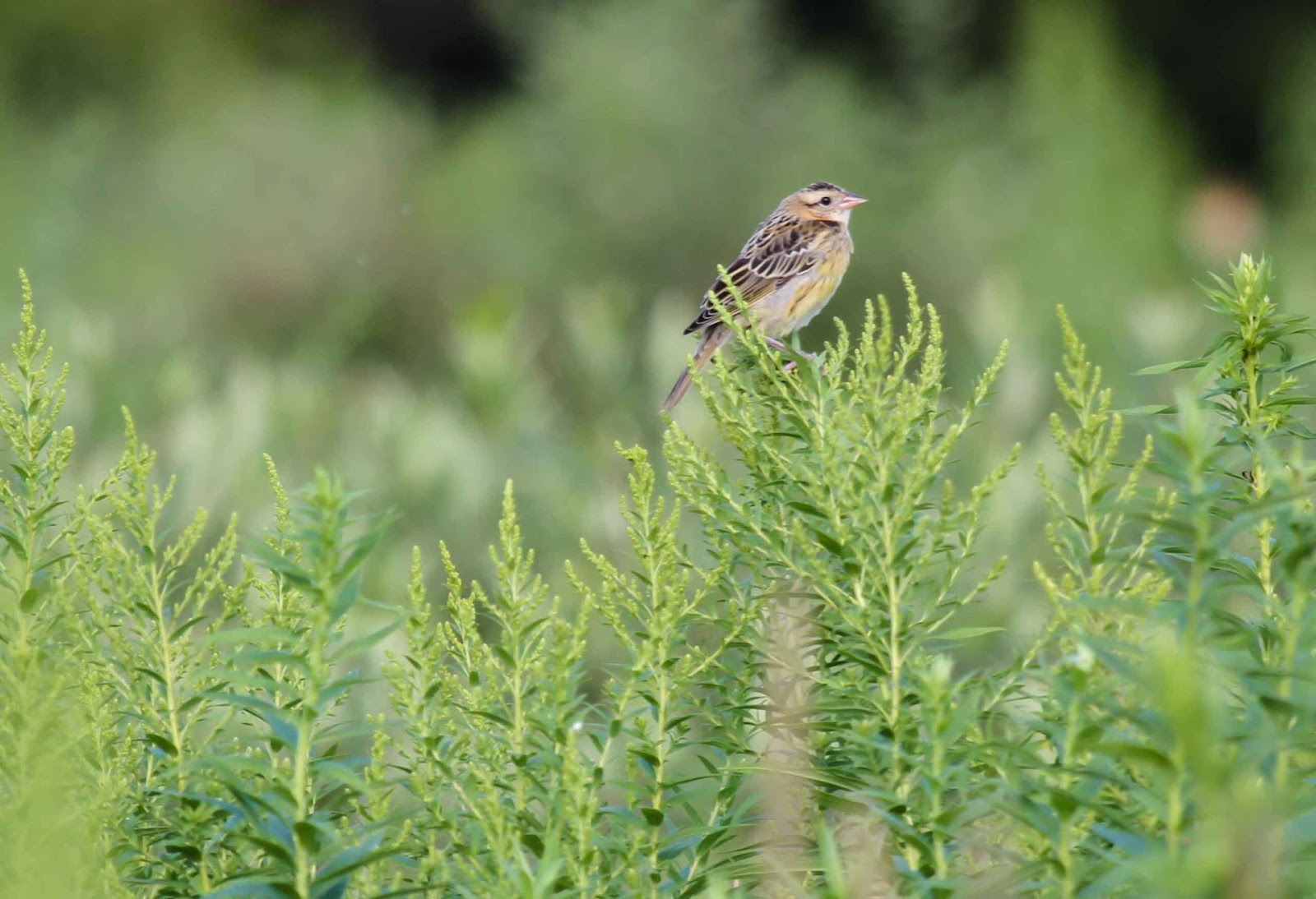 Gale S Photo And Birding Blog Female Bobolink