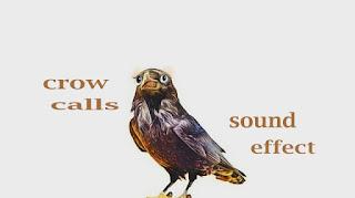 how a crow calls