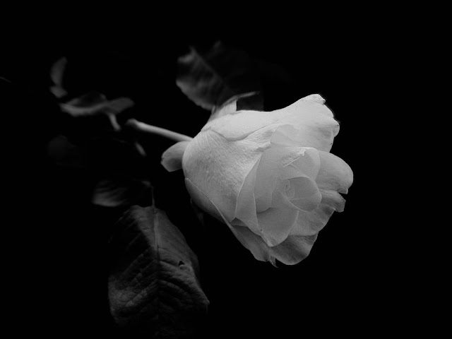 white-roses-images-hd-download