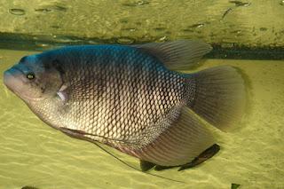 cara budidaya ikan gurame di kolam