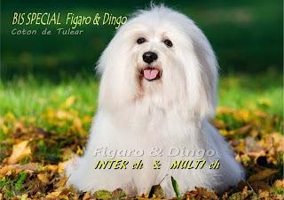 Coton de Tulear  Figaro & Dingo