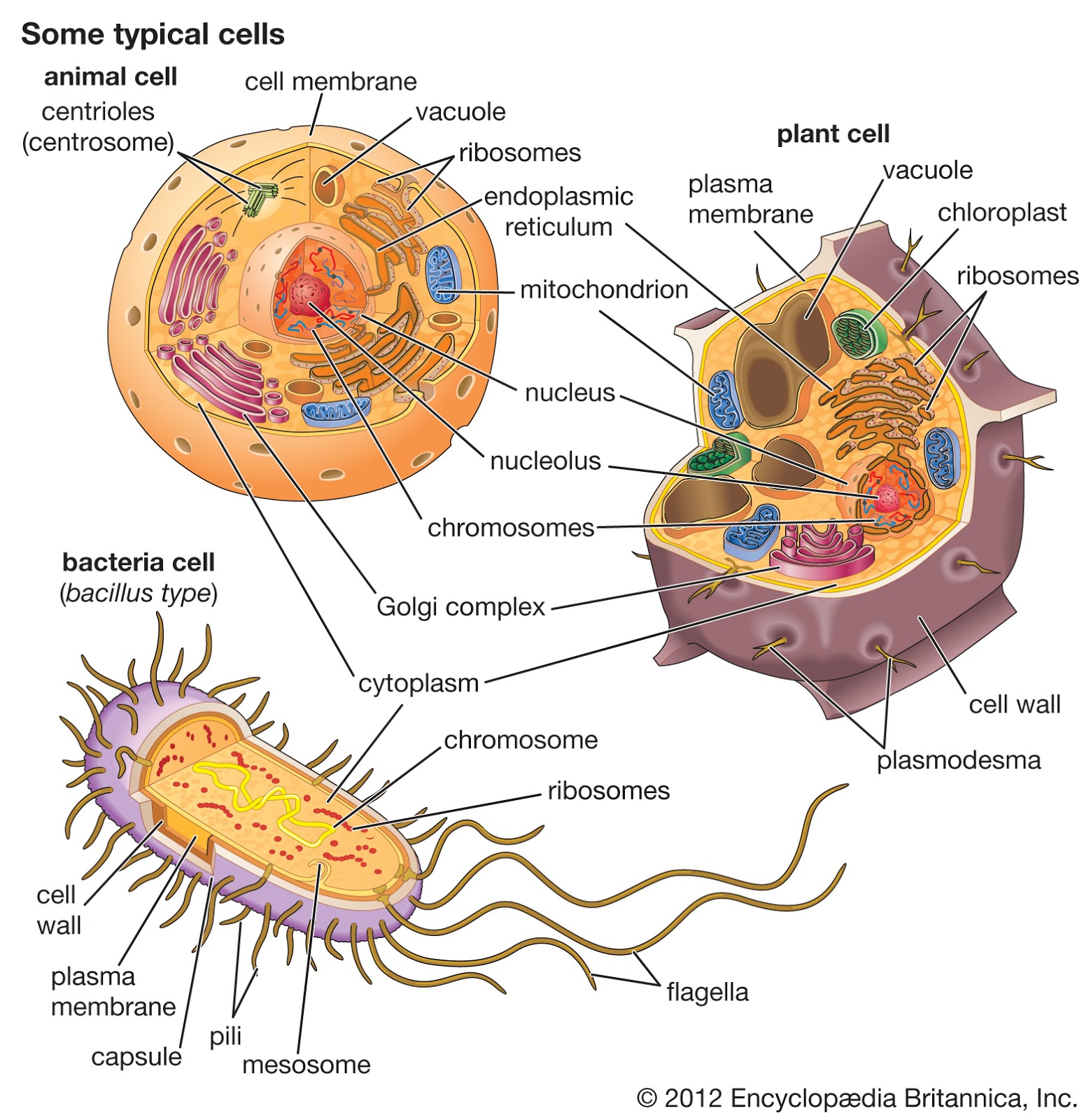 Fungsi Dan Struktur Penting Membran Sel Membran Plasma