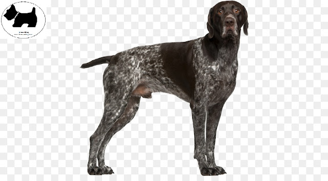 German Shorthaired Pointer, dog information, Dog facts, Best dog Breeds