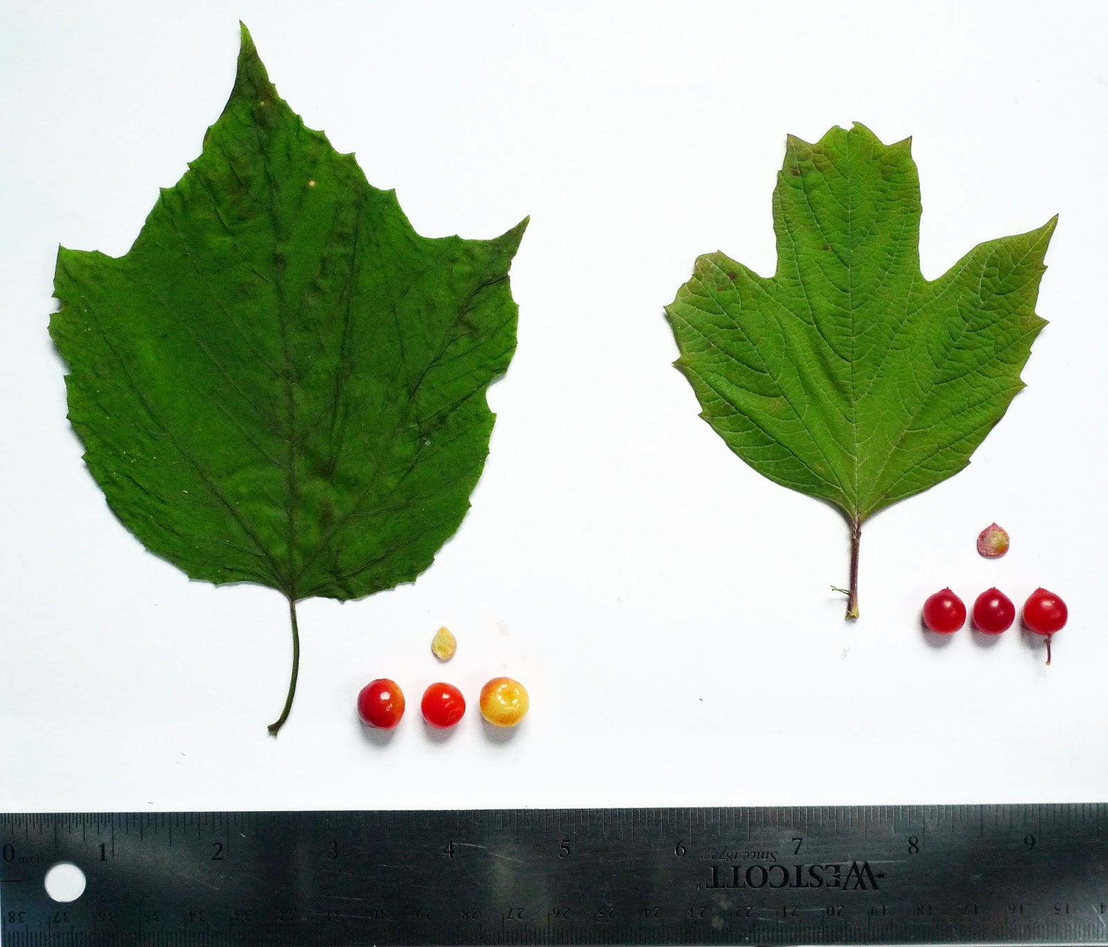 Wild Harvests: Highbush Cranberry de-befuddled
