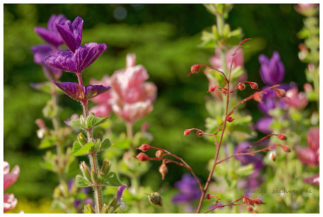 Szałwia zielona, Salvia viridis