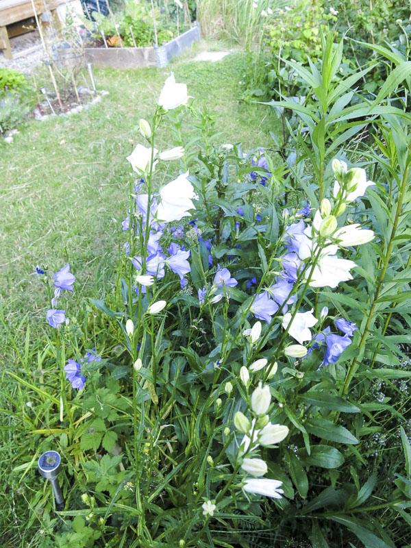 blåklocka, bluebell