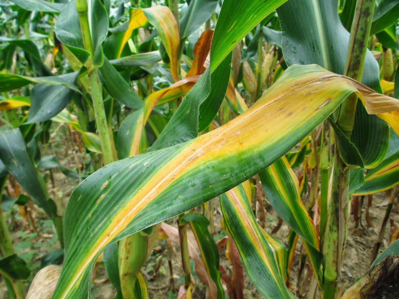 Nitrogen Only Fertilizer Grain Crops Update: Go...