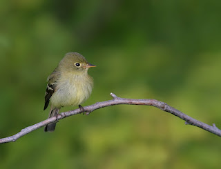 Yellow-bellied Flycatcher, while birding in Newfoundland