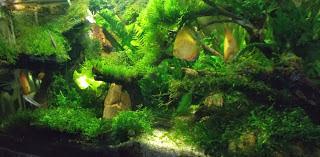 cara membuat aquascape tanpa CO2 Injection