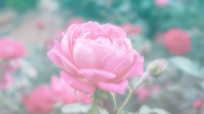 róża, kobiecość, kwiat, łechtaczka, okaleczanie, prawa człowieka