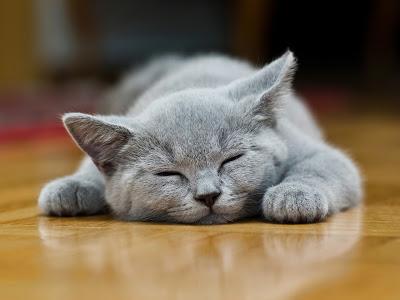 Karthäuser Katzenbaby schlafend