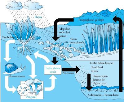 Keberadaan fosfor pada organisme hidup sangat kecil Siklus Fosfor : Pengertian, Proses, Tahapan