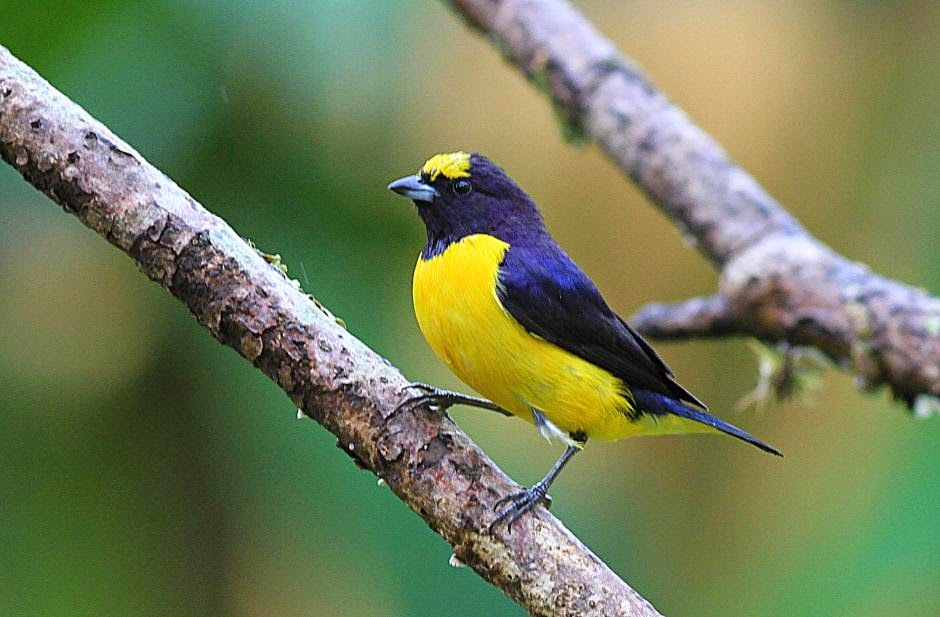 Purple throated Euphonia
