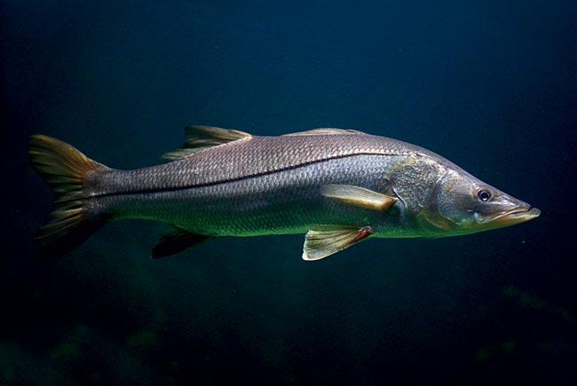 Resultado de imagem para peixe flecha