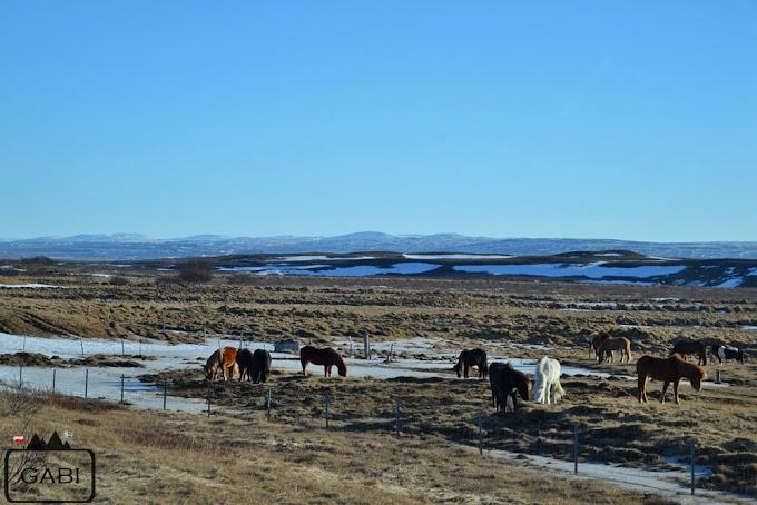 Przejażdżka na koniach islandzkich, czyli Islandii ciąg dalszy