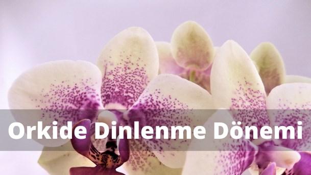Orkide dinlenme dönemi