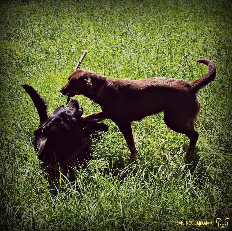 Zwei Labradore beim Spielen