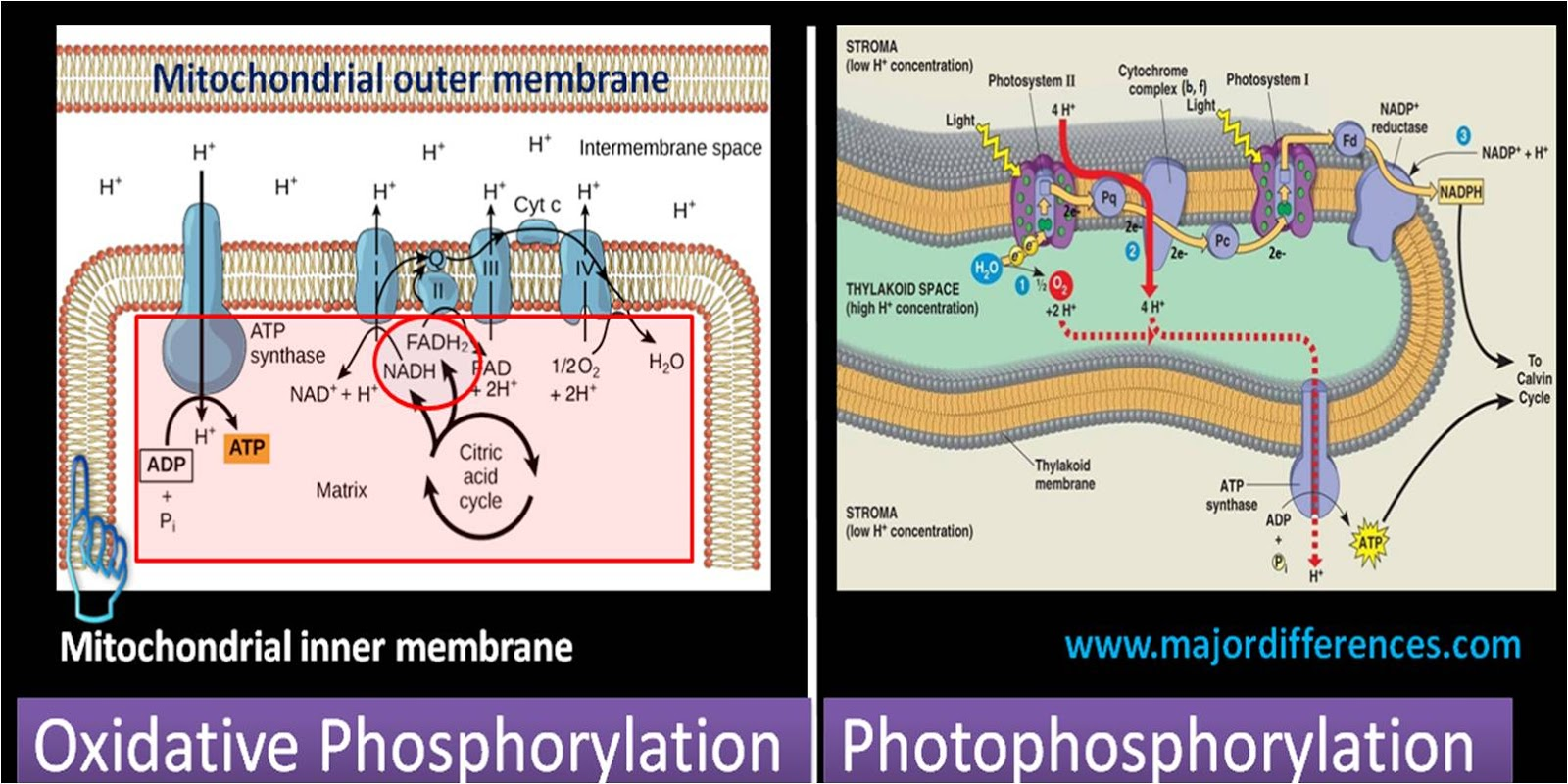 Oxidative Phosphorylation VS Photophosphorylation