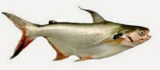 Umpan Ikan Patin Terhebat Dan Manjur