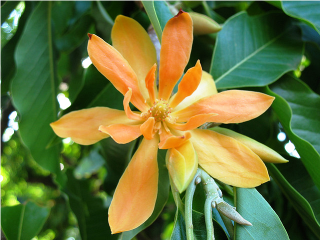 bunga jeumpa